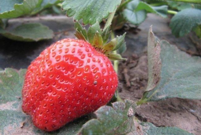 О сорте клубники пандора: описание, агротехника выращивания, как ухаживать