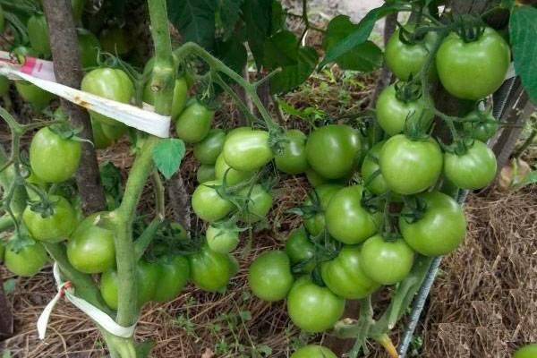 Сорт томата «премиум f1»: описание, характеристика, посев на рассаду, подкормка, урожайность, фото, видео и самые распространенные болезни томатов