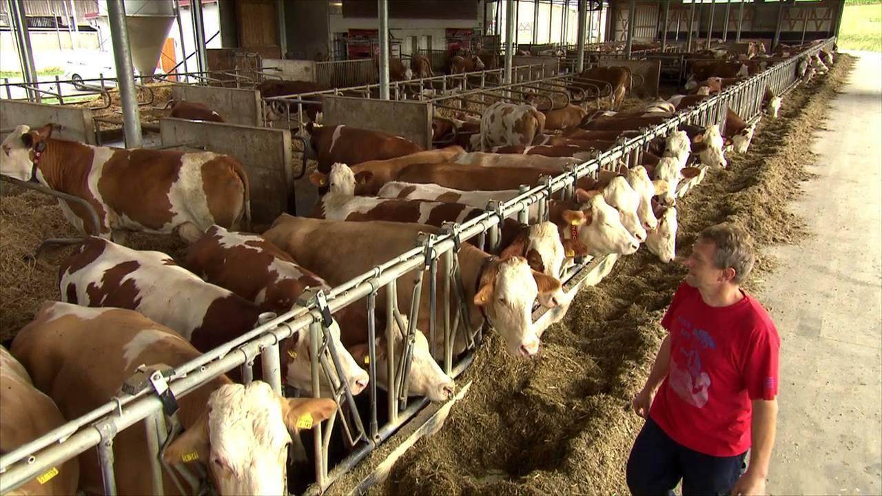 Как определить стельность коровы народными методами и средствами