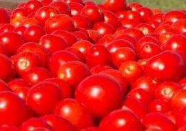Описание и характеристика сорта томата полосатый шоколад — правила выращивания и ухода