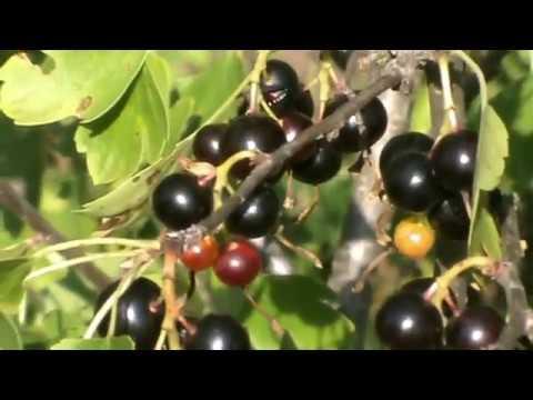 Репис или дикая смородина: как выращивать у себя на участке?