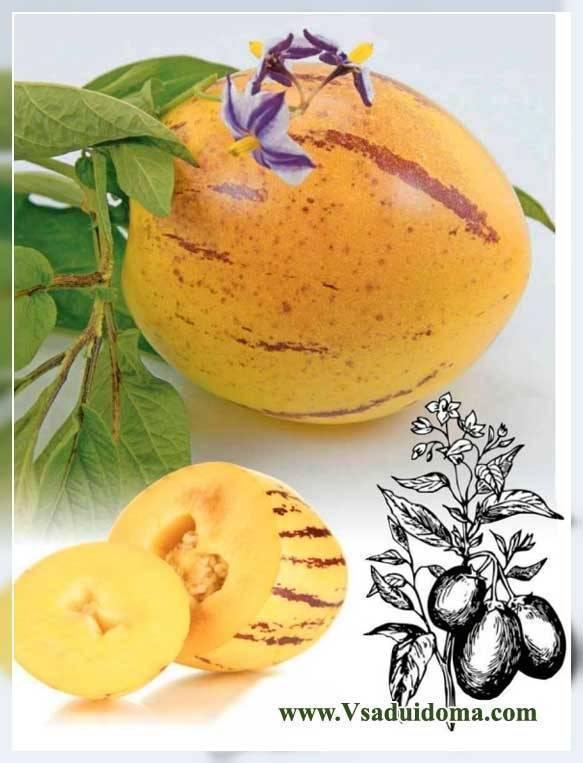 Пепино (дынная груша): выращивание в домашних условиях из семян и рассадой, отзывы