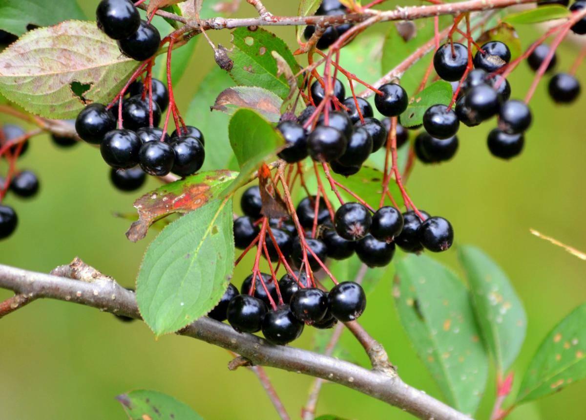 Черноплодная рябина: лечебные свойства, противопоказания, рецепты