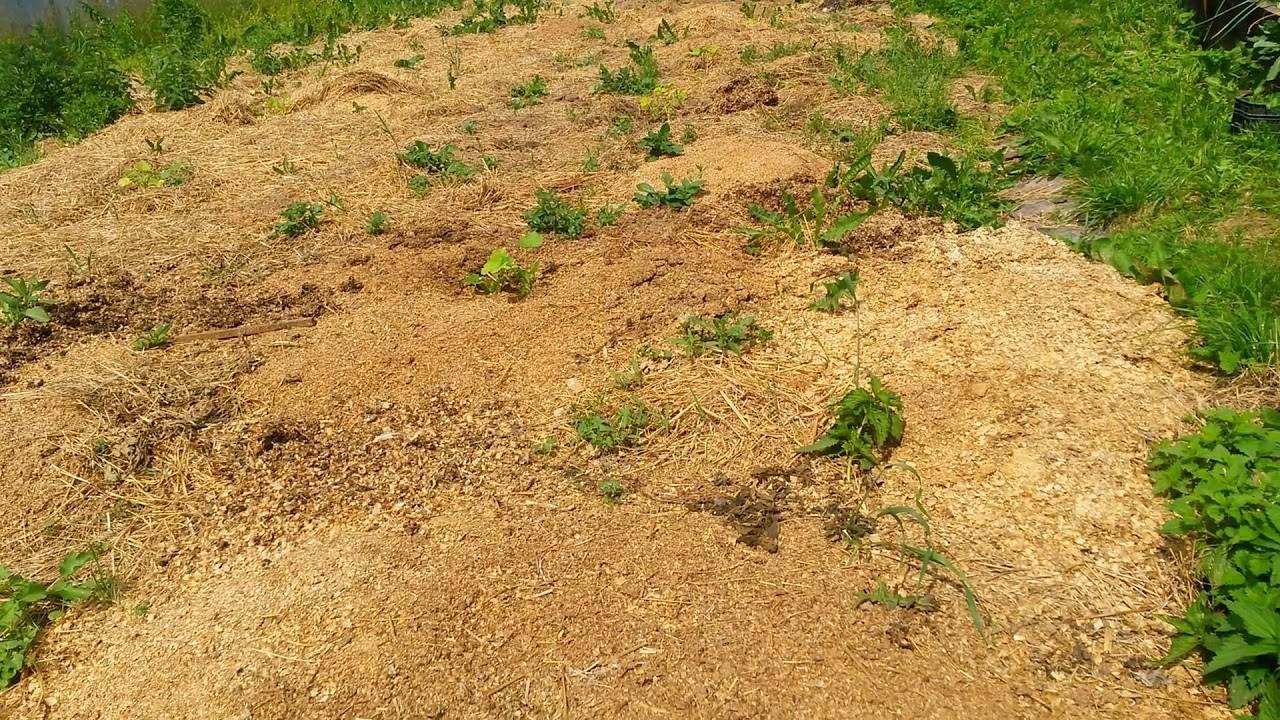 Cорняк американка (галинсога): как бороться с сорной травой