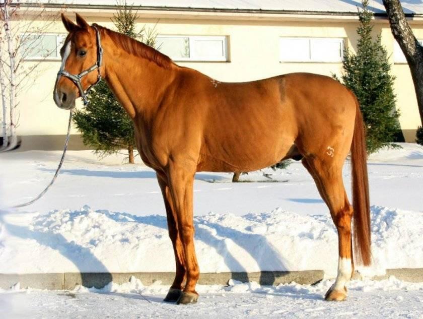 Донская и будённовская порода лошадей: лучший друг и верный помощник
