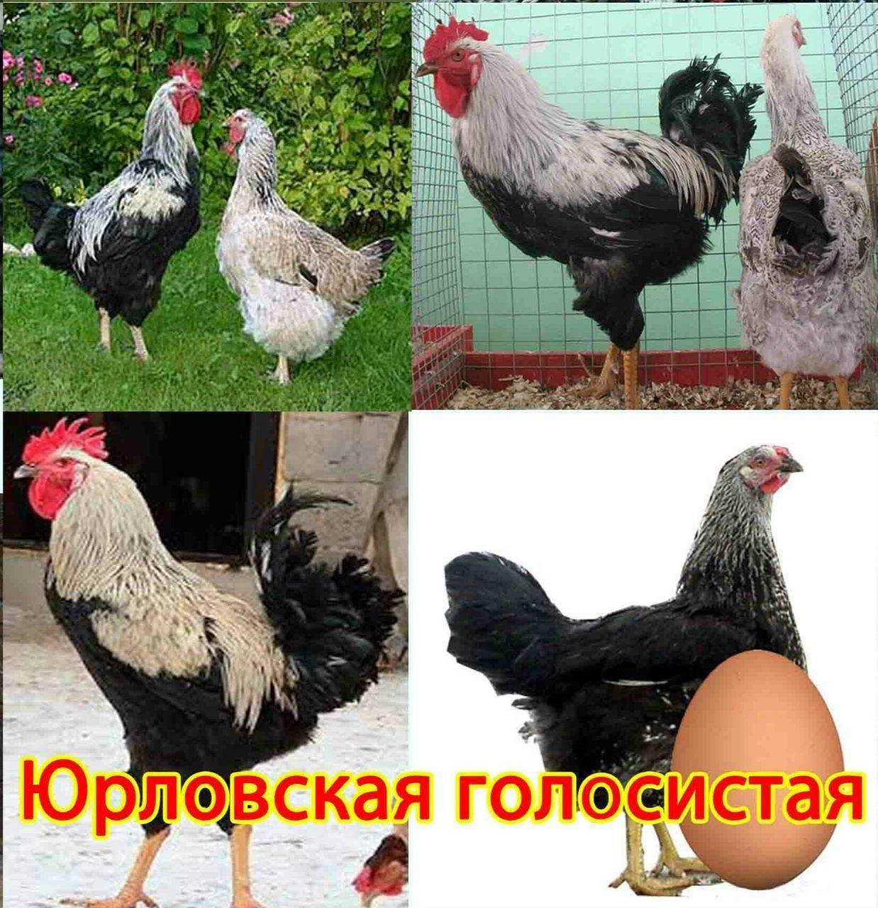 Удивительная порода кур — юрловская голосистая