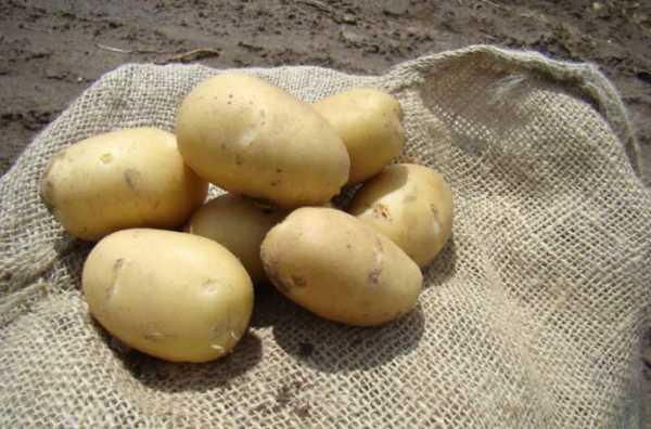 Сорт картофеля – ривьера: история и характеристики, посадка и уход