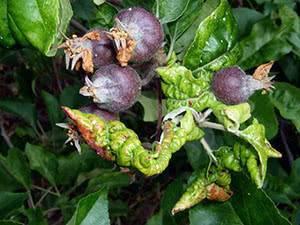 Распространенное заболевание листьев — ржавчина груши. симптомы, лечение, методы профилактики