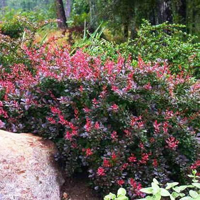Барбарис атропурпуреа (berberis thunbergii atropurpurea)