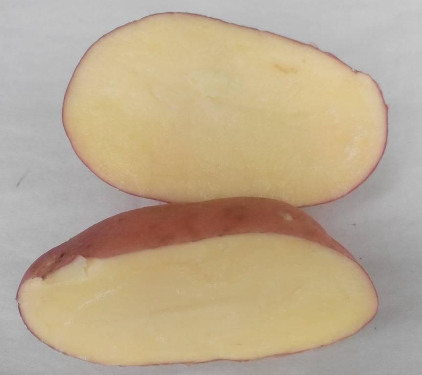 Один из самых неприхотливых сортов картофеля — «лина»: описание урожайности и советы по выращиванию