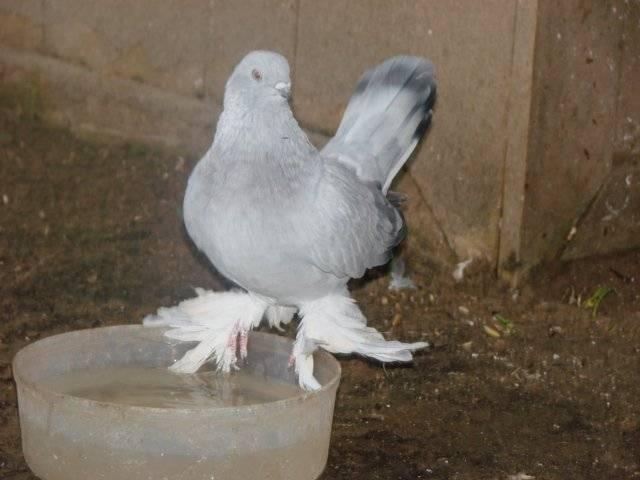 Сайт о голубях стандарты: узбекские двухчубые «выставочные» короткоклювые голуби | сайт о голубях