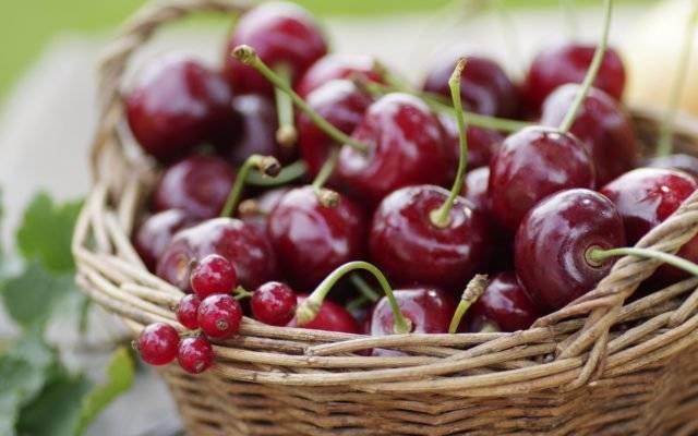 Вишня с высокой урожайностью и хорошей морозостойкостью — сорт любская