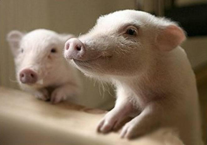 У свиньи отказали задние ноги: что это значит?