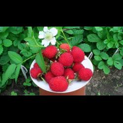 Тибетская малина посадка и уход видео отзывы о земляничной малине вкус ягод и полезные свойства