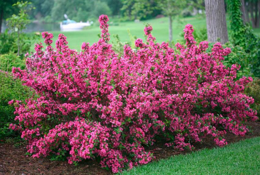 Обрезка глицинии: когда это делать для цветения – весной или летом, как проводить процедуру правильно, чтобы растение цвело, и каким образом ухаживать?
