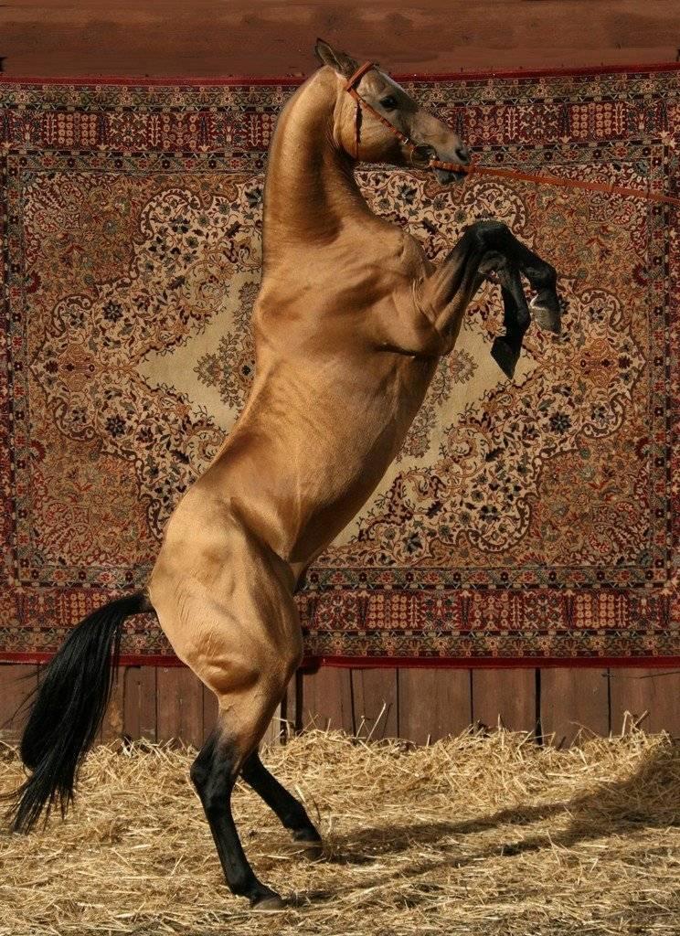 Ахалтекинская лошадь: масти, фото. разведение ахалтекинских лошадей