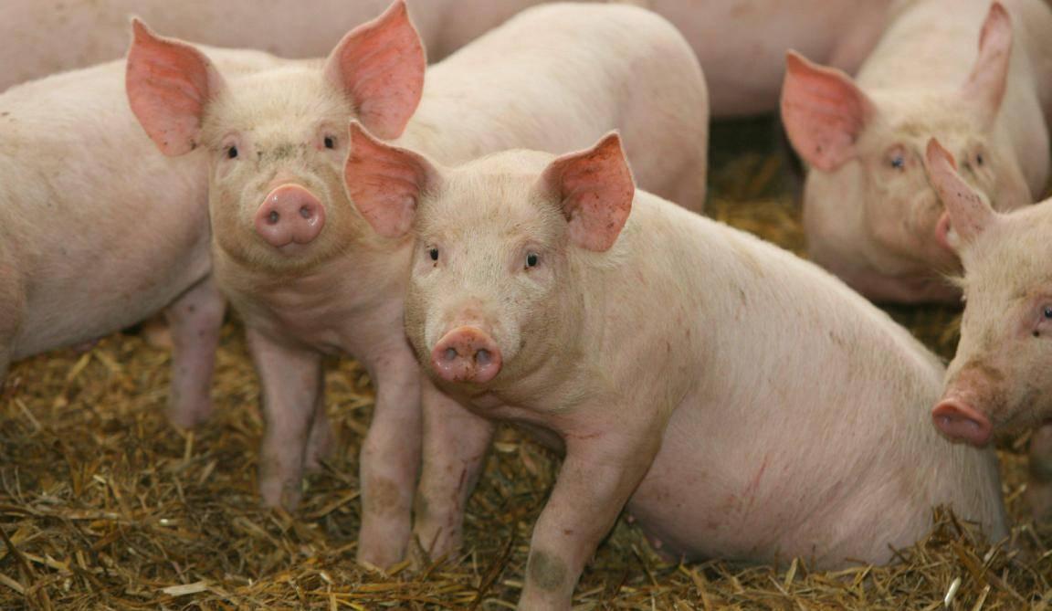 Болезни свиней: симптомы, фото, лечение, профилактика - инфекционные, рожа, чума, везикулярная сыпь, ушей, ног, незаразные, кожные, опасные