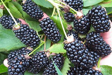 Характеристика и особенности выращивания ежевики блэк бутте (блэк бьюти)