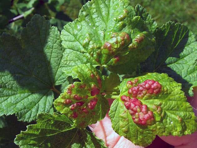 Почему скручиваются листья у смородины: 6 болезней и вредителей, профилактика и методы борьбы