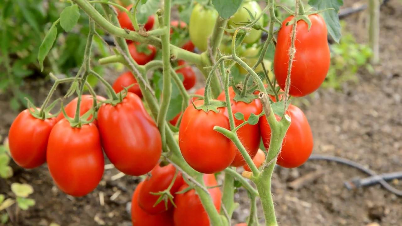 Крупный и неприхотливый в уходе томат «семейный f1»: выращиваем самостоятельно, избегая ошибок