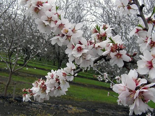 Дерево миндаль: посадка и уход, фото, выращивание, обрезка, прививка, виды и сорта