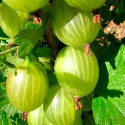 Особенности выращивания крыжовника сорта «малахит»: отзывы