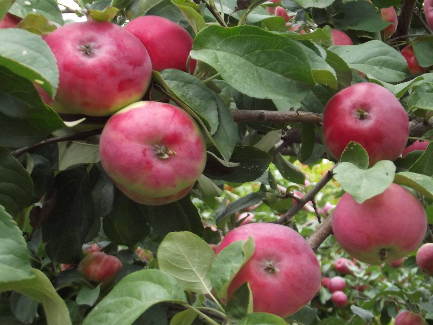 Характеристика и особенности выращивания яблони сорта победа