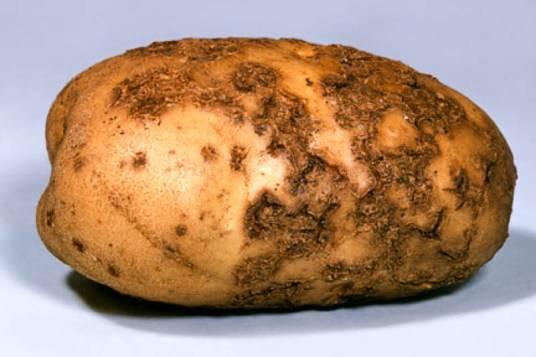 Виды болезней картофеля и способы лечения