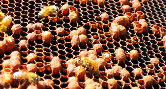 Аскосфероз пчел: причины заболевания и лечение