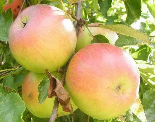 Яблоня коваленковское — 8 особенностей и 10 советов по посадке и уходу