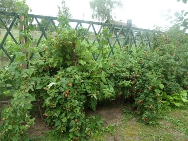 Малина гордость россии — описание сорта и секреты выращивания