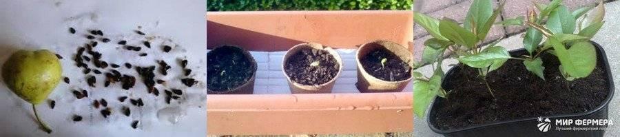 Особенности выращивания груши из косточки в домашних условиях