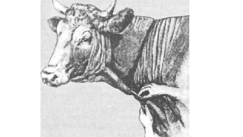 Методики отбора (взятия) крови у свиней
