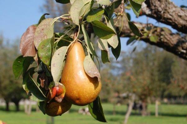 Мероприятия по защите яблони и груши