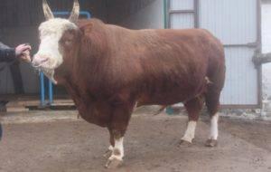 Разведение крупного рогатого скота: особенности и перспективы