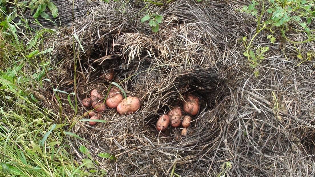 Вырастить картофель рассадой в 2020 – это просто!