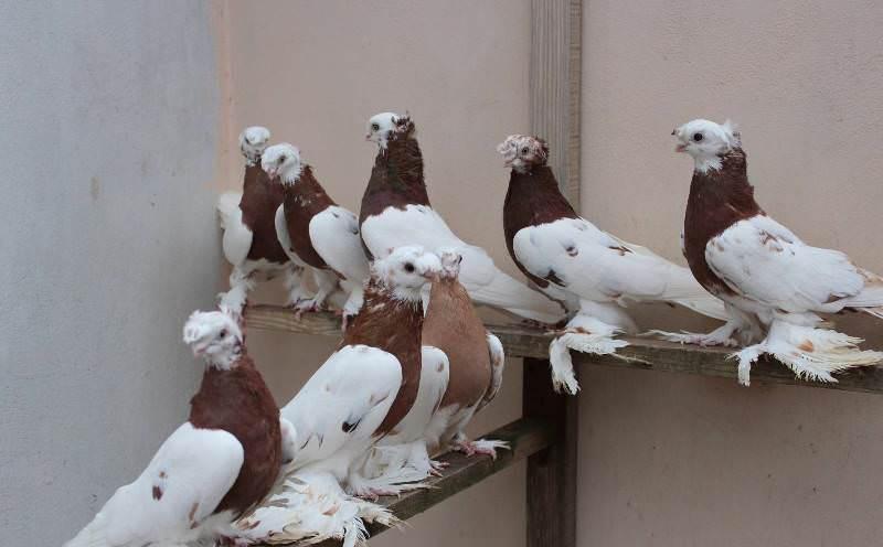 Статные голуби — красивая осанка и богатое разнообразие расцветок