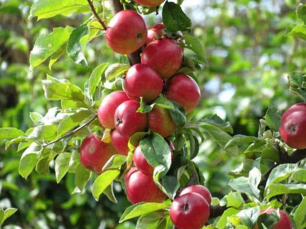Описание сорта яблок кортланд с подробной характеристикой