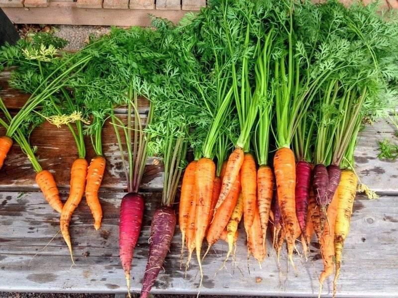 Сорт моркови лакомка: описание, фото, отзывы