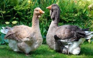 Содержание губернаторских гусей: описание породы и характеристика