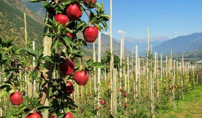 Яблоня «краса свердловска»: выращивание и уход