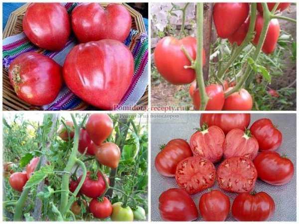Дающий обильный урожай вкуснейших помидоров томат «буденовка» — выращиваем самостоятельно на участке или в теплице