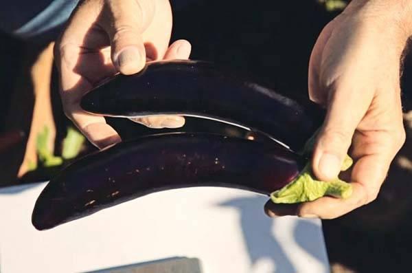 Баклажан фиолетовое чудо f1