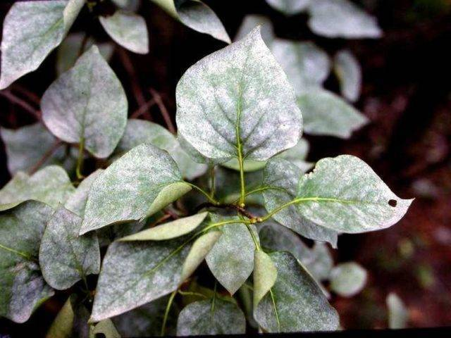 Почему у сирени скручиваются листья | причины, фото болезни и видео рекомендации по обработке кустов (110 фото)