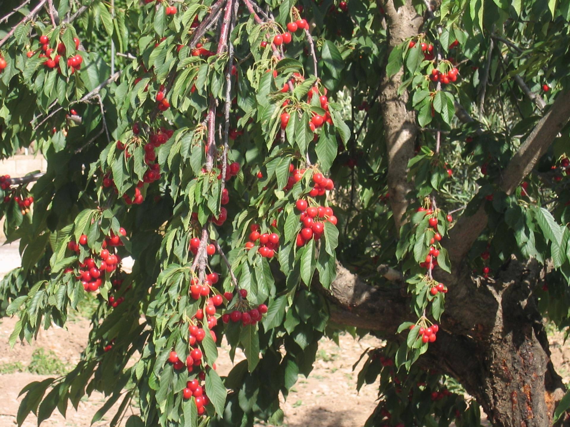 У вишни сохнут или ржавеют листья — диагностика и лечение заболеваний