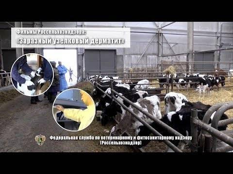 Актиномикоз у коров: причины появления заболевания, основные методы лечения, правила профилактики