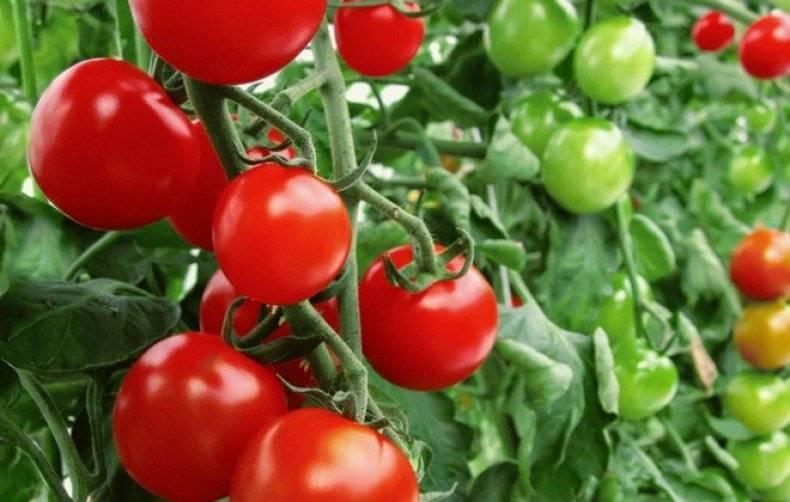 Лучшие сорта томатов для теплицы, устойчивые к фитофторе