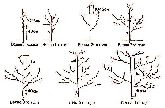 Как правильно обрезать абрикос весной