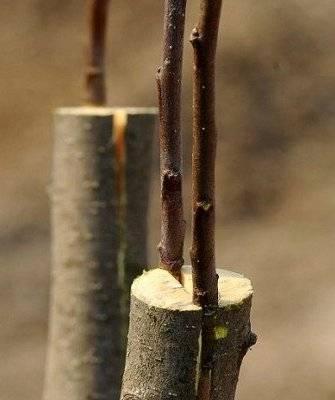 Топ-5 лучших сортов карликовой вишни и их описание