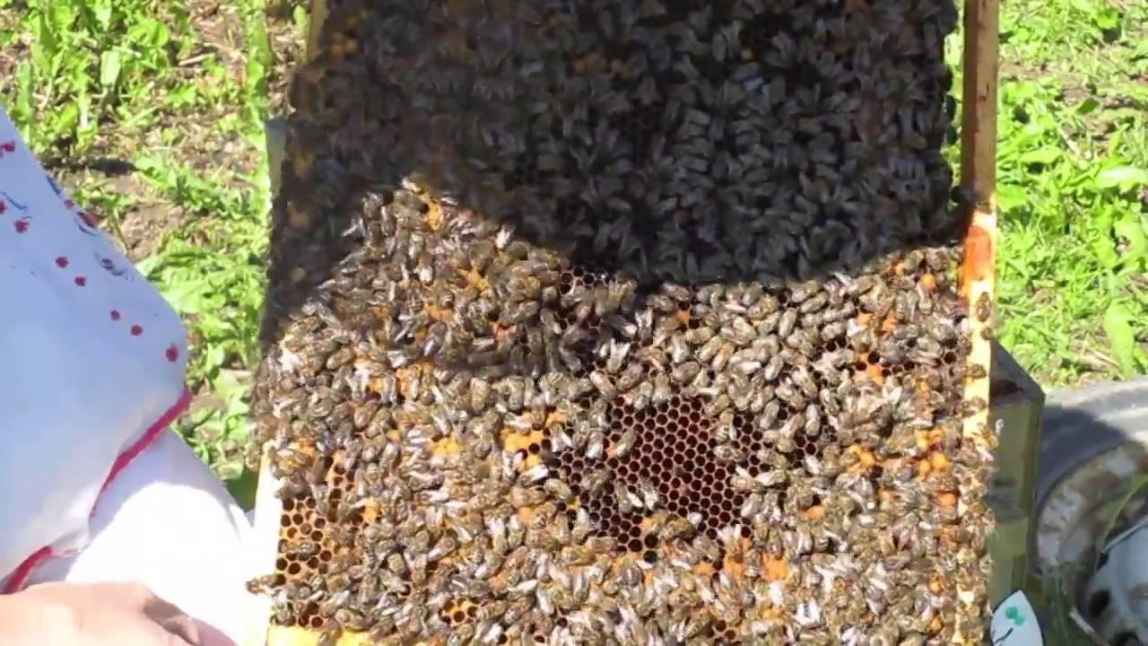 Роение пчёл. естественный природный процесс или проблема пчеловода?